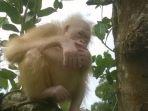 tribun-kalteng-orangutan-albino_20170617_105402.jpg