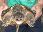 tribunkalteng-kura-kura-hewan-viral.jpg