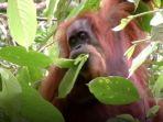 tribunkalteng-orangutan-tapanuli_20171103_103022.jpg