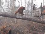 tribunkalteng-orangutan-yang-menghadapi-buldozer_20180609_191651.jpg