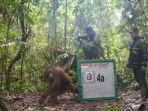 tribunkalteng-orangutan_20171110_103850.jpg
