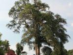 tribunkalteng-pohon-kedondong-keramat_20180404_153714.jpg