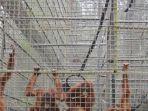 tribunkaltengcom-orangutan-di-nyaru-menteng.jpg