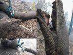 tribunkaltengcom-ular-mati-kebakaran-hutan.jpg