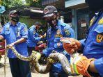 ular-piton-tabalong-kalsel.jpg