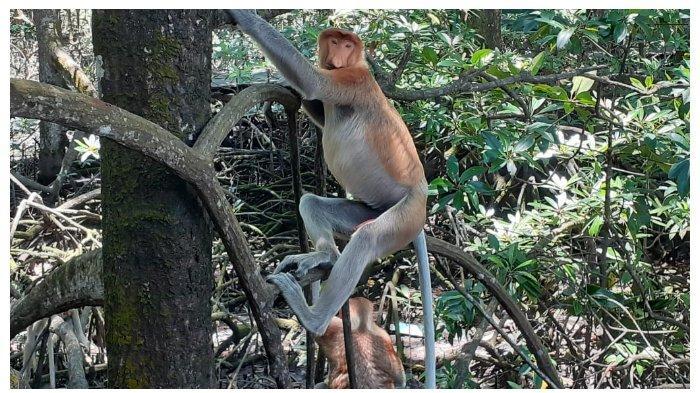 Serunya Lihat Monyet Berhidung Panjang di Kawasan Konservasi Mangrove dan Bekantan Tarakan