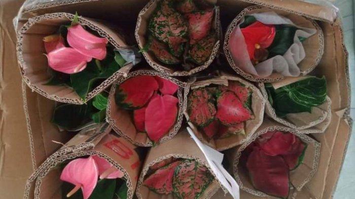 Karantina Pertanian Tarakan wilayah kerja Sebatik kembali melakukan sertifikasi terhadap 28 bibit tanaman hias yang terdiri dari Calathea dan Aglaonema, Senin (8/2/21)