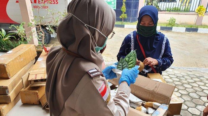 Bajakah Kering dan Alocasia Asal Kaltara Jadi Primadona di Hari Belanja Online Nasional 11.11