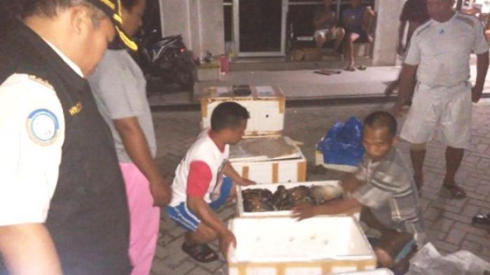 Dini Hari, Balai Karantina Serbu Bandara untuk Cari Kepiting