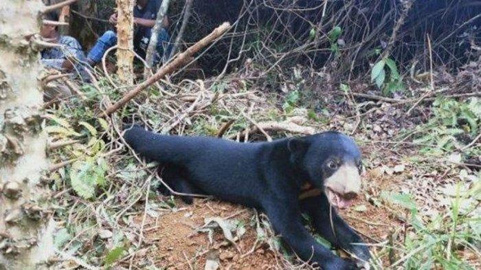 Belum Sempat Disembelih, Dua Hewan Kurban Ini Dimangsa Beruang Madu Hingga Mati, Penuh Luka Robek