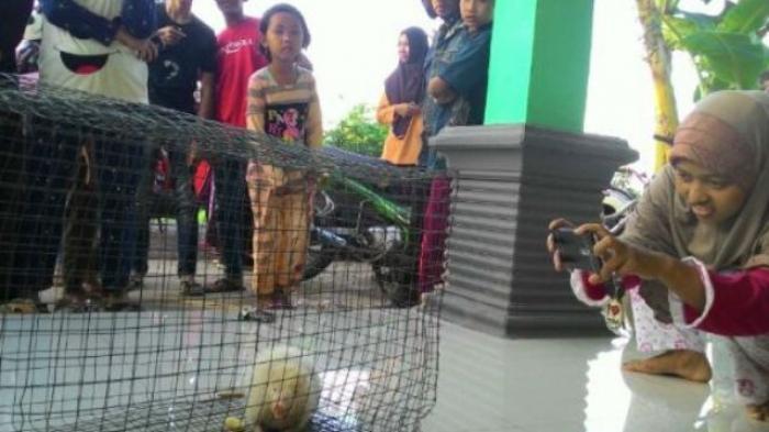 Warga Beramai-ramai Melihat Hewan Bermuka Babi, Berekor Tikus