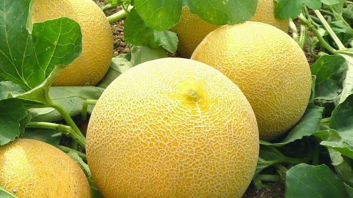 Rajin Konsumsi Buah Melon, Ini Manfaat yang Dirasakan Tubuh, Bisa Menormalkan Kadar Gula Darah