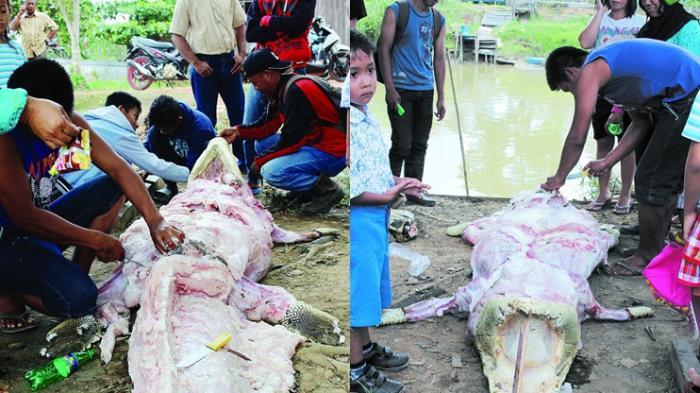 Sadis, Pawang Tangkap 52 Ekor Buaya Lalu Dikuliti Hidup-hidup