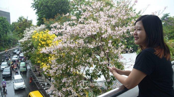 Ternyata Ada Nama Tri Rismaharini Dibalik Bunga Tabebuya yang Bermekaran di Surabaya