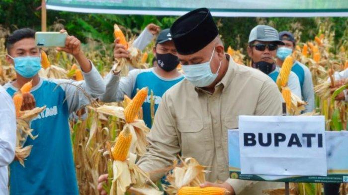Bupati Edi Damansyah Panen Jagung, Dukung Program Revolusi Jagung di Kukar