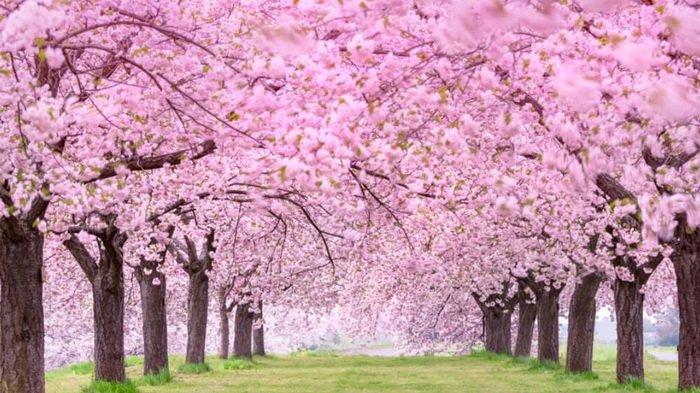 Melihat Bunga Sakura Di Jepang