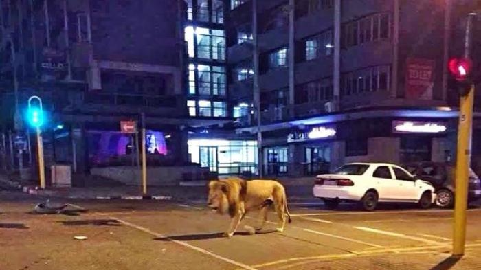 Warga Panik Lihat Seekor Singa Santai Melenggang di Jalanan