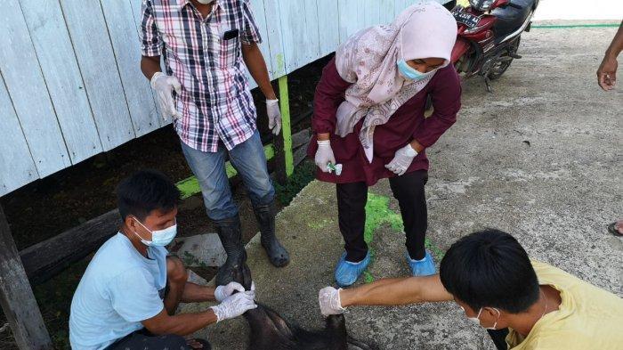 Dinas Pertanian Bulungan Minta Masyarakat tak Sembarangan Buang Babi