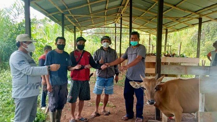 Tingkatkan Populasi Ternak, Dinas Pertanian Serahkan 12 Ekor Sapi ke Kelompok Tani Maju Sejahtera