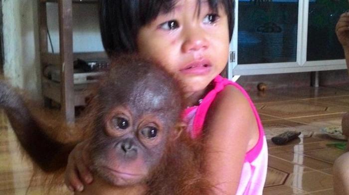 Bocah Ely Menangis Saat Petugas Jemput Temannya, Josh Si Orangutan