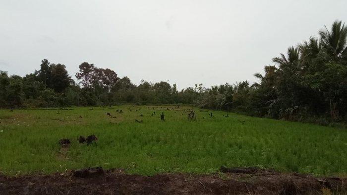 Petani di Tanjung Buka Bulungan Beberkan Penyebab Food Estate Tidak Bisa Berjalan