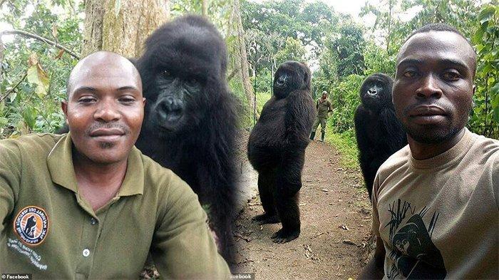 Sang Pawang Ungkap Kisah di Balik Viralnya Foto 'Selfie' Bersama Dua Ekor Gorila di Kongo