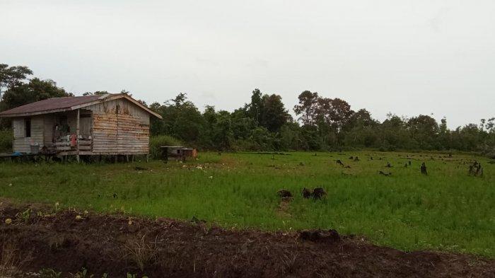 Petani di SP 8 Bulungan Kalimantan Utara Tidak Ingin Dipaksa Menanam Padi