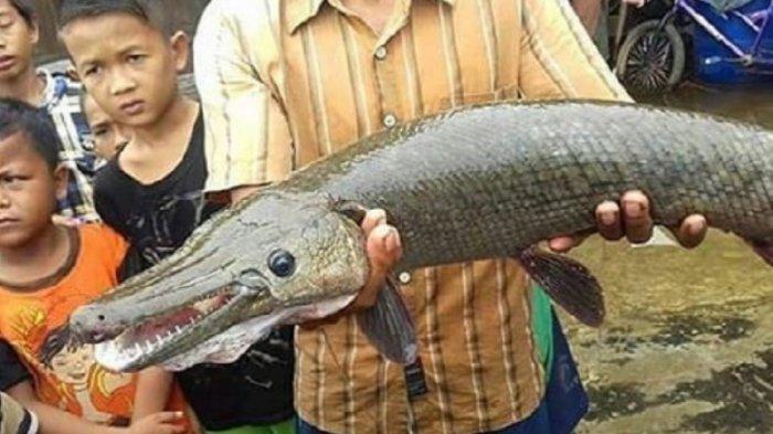 Warga Bekasi Tangkap Dua Ikan Aligator Saat Banjir, Sempat Diduga Ular Kobra