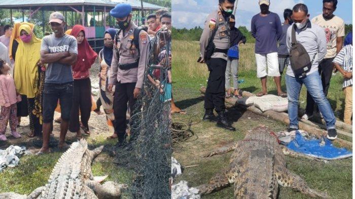 Warga Buru Buaya Ukuran 4 Meter yang Terkam Bocah 8 Tahun di Nunukan hingga Tewas