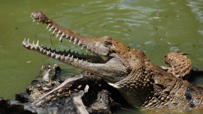 Cerita Pencarian Bocah Kutim yang Diterkam Buaya di Sungai Lembak, Hari ke-7 Jasad Masih Misterius
