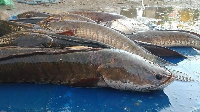 Ekstrak Ikan Gabus Bisa Menurunkan Kadar Gula Darah dan Memperbaiki Jaringan Pankreas yang Rusak