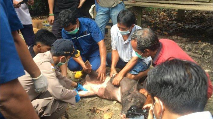Puluhan Babi Ternak Mati, Dinas Pertanian Bulungan Imbau Warga Tak Konsumsi Daging Babi yang Sakit
