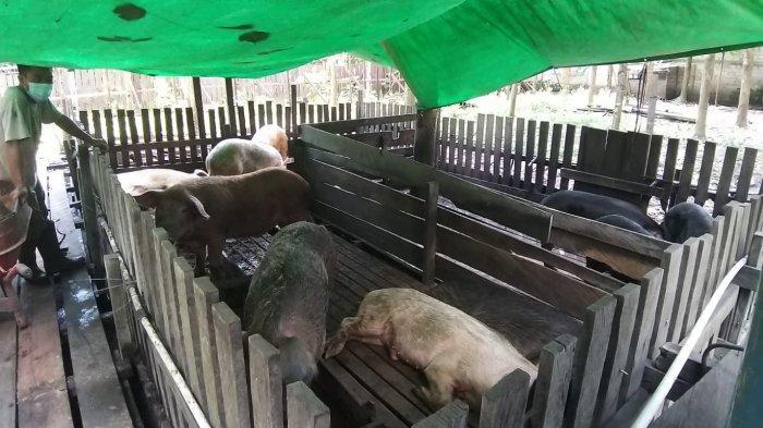 Lagi, Puluhan Ekor Babi Ternak di Kubar Mati Mendadak, Distan Lakukan Uji Sampel hingga ke Kalsel