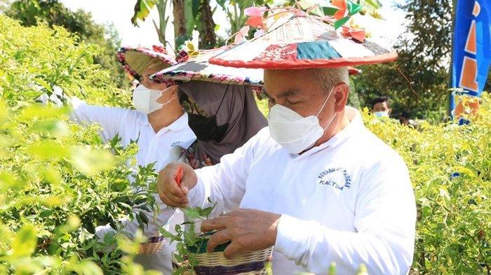 Kunjungan Kerja ke Kutai Barat, Gubernur dan Wagub Panen Cabai di Sekolaq Darat