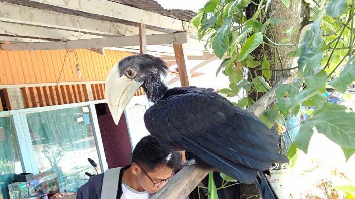 BREAKING NEWS Dipelihara Warga, Satu Ekor Burung Rangkong Dievakuasi BKPSDA Berau
