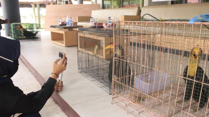 Balai Gakkum LHK Kaltim Tangkap Pelaku Penjualan Burung Rangkong, Konsumen Terbanyak dari China