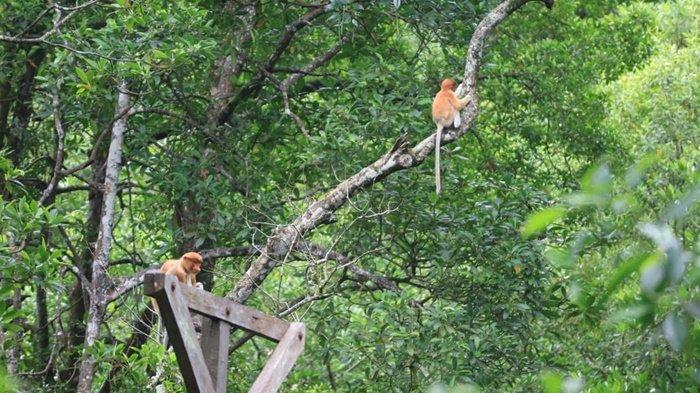 Ke Tarakan, Wajib Datangi Konservasi Mangrove dan Bekantan, Wisata Edukasi Mengenal Flora & Fauna - kkmb-412.jpg