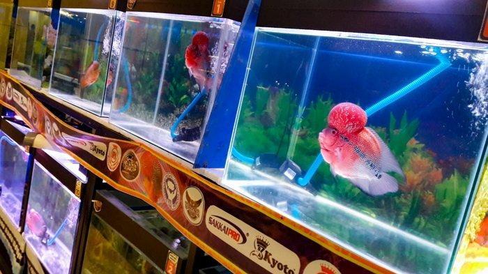 Berniat Pelihara Ikan Berjenong Besar Ini 5 Tips Cara Merawat Ikan Louhan Tribun Kaltim