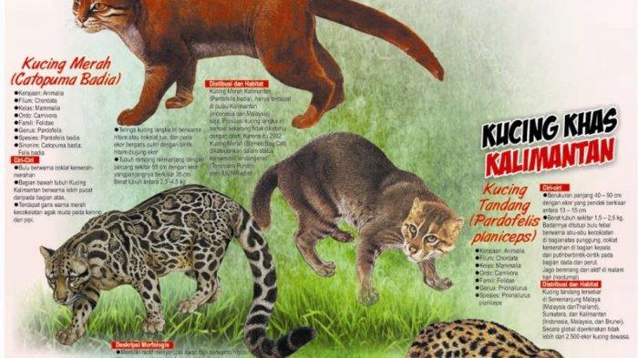 Kucing Hutan Kalimantan Terancam Punah Halaman All Tribun Kaltim
