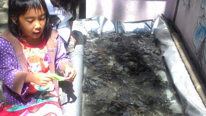 Tak Sekadar Piknik, di Pantai Trisik Kulon Progo, Wisatawan Bisa Melepas Tukik