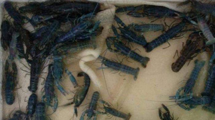 Lowongan Kerja di Perusahaan Budidaya Udang Lobster di Samarinda, Dibuka Dua Posisi