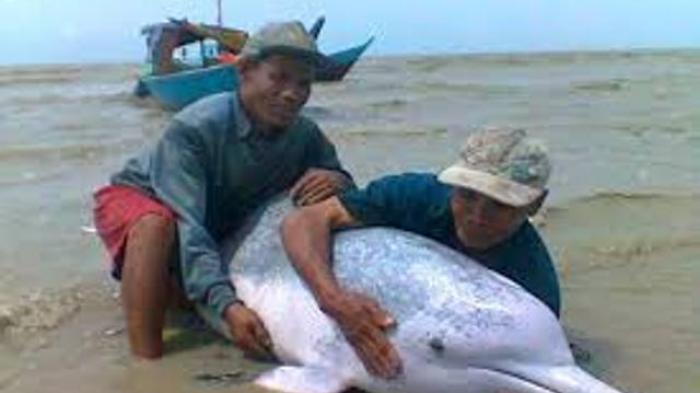 Lumba-Lumba Mati Terjerat Jaring Nelayan
