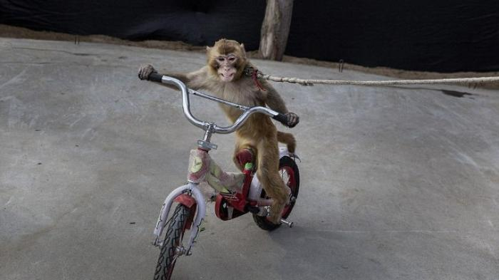 Foto Monyet Terikat di Motor Bikin Netizen Heboh