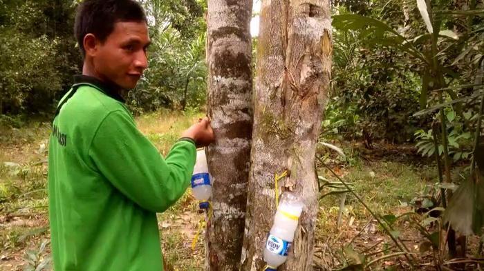 Video Wow Harga Pohon Gaharu Tembus Rp 250 Juta Perkilo Tribun Kaltim