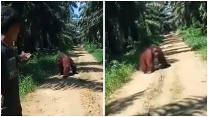Viral Orangutan Masuk ke Areal Perusahaan Sawit di TaliSayan, Pencarian BKSDA Kaltim masih Nihil