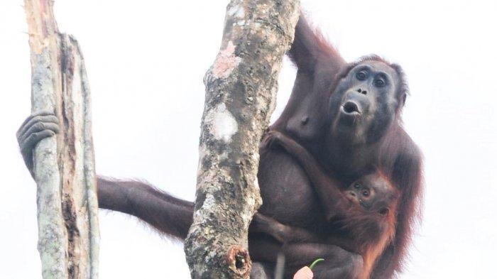 Tembakkan 74 Peluru Senapan Angin ke Tubuh Orangutan, Pelaku Hanya Dihukum Kumandangkan Adzan