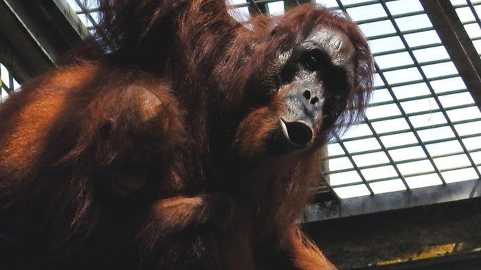 BOS & BKSDA Kaltim Lepasliarkan 3 Orangutan,Genap 118 Orangutan Menghuni Hutan Kehje Sewen Kutim - orangutan.jpg