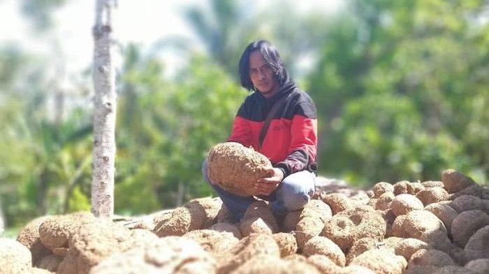 Manfaat Tanaman Umbi Porang, Dari Pangan Sampai Kosmetik, Potensi Ekspor Kalimantan Timur