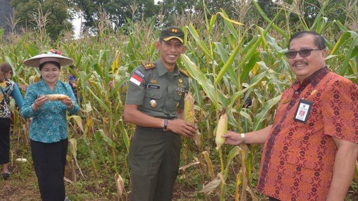 SDN 001 Barong Tongkok Ajak Pejabat dan Dandim Kubar Panen Jagung di Kebun Sekolah