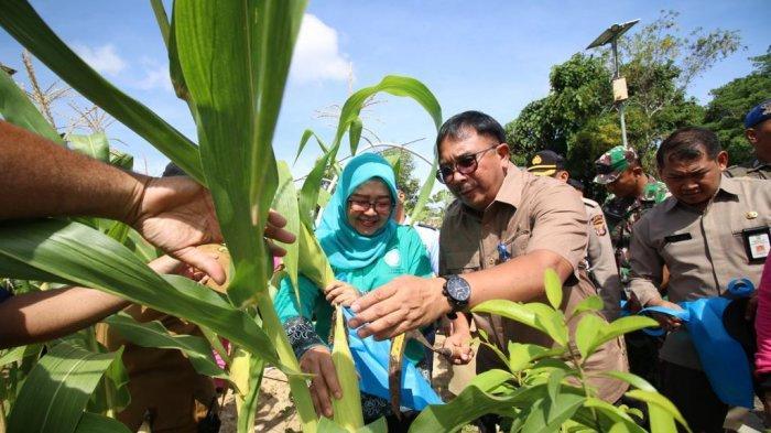 Persediaan Jagung untuk Malam Tahun Baru di Kota Balikpapan Aman, Ini Hasil Panen Dinas Pertanian